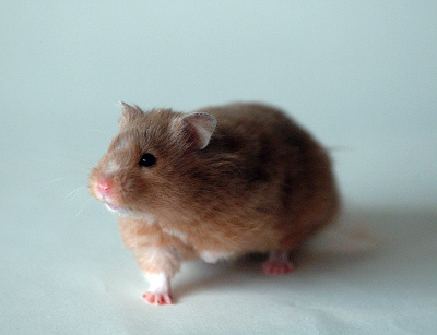 Vince - our 2nd hamster